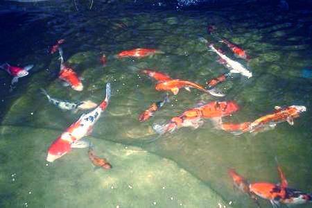 Koi at night 2 featured koi photos in for 1500 gallon koi pond