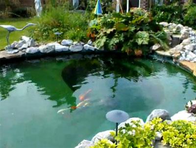 A beautiful koi pond by king koi ponds for Beautiful koi ponds